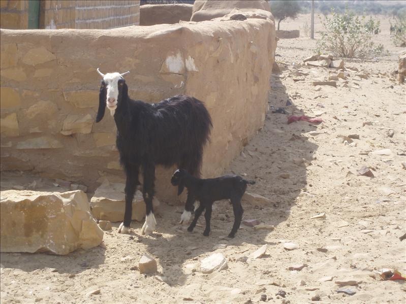 Goats in desert village