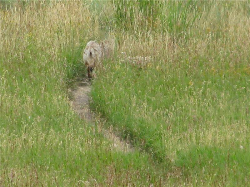 Een (Wile E.) coyote, die echt zomaar uit het niets vlak naast Bart sond