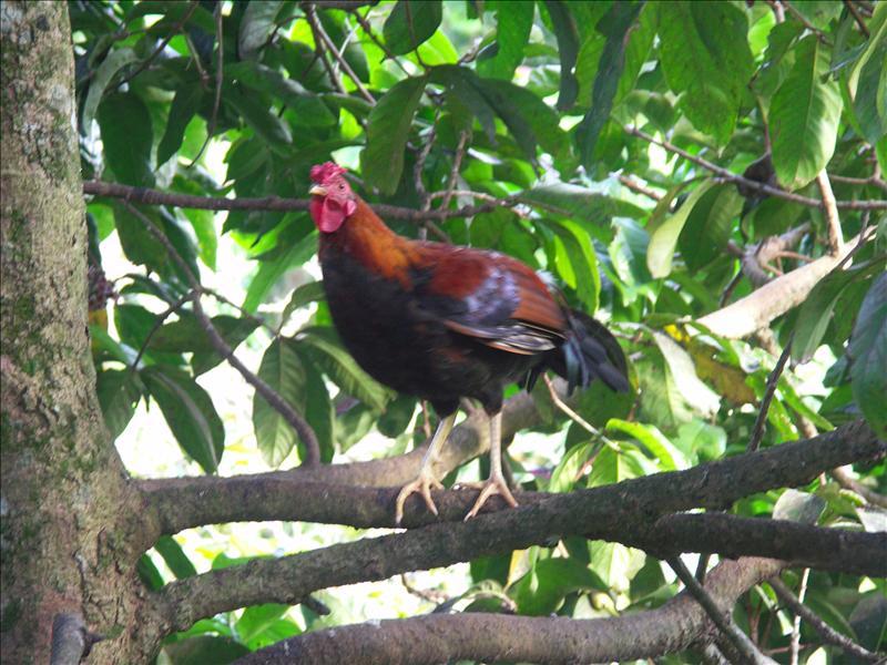 Hen in a tree