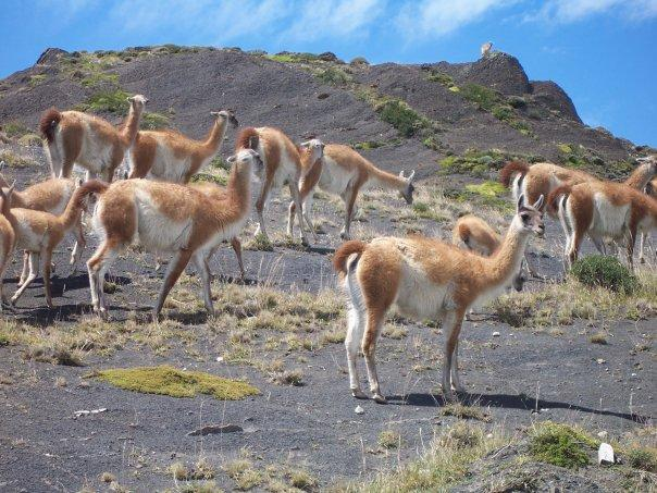 GUANCOS, PARQUE NACIONAL TORRES DEL PAINE, CHILE