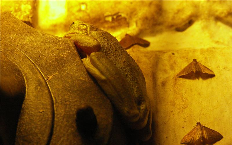 Frog eats moths