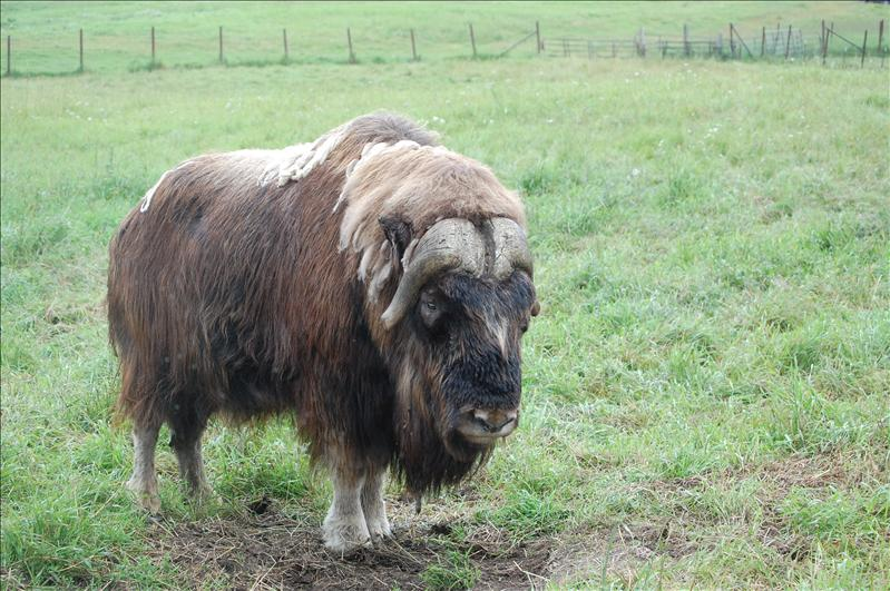 Musk Ox (domesticated)