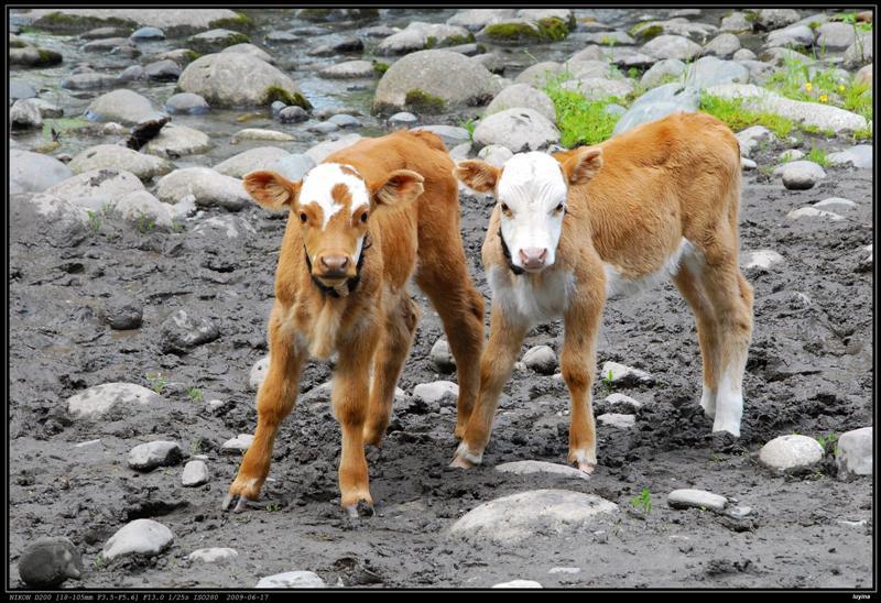 禾木,两小牛犊