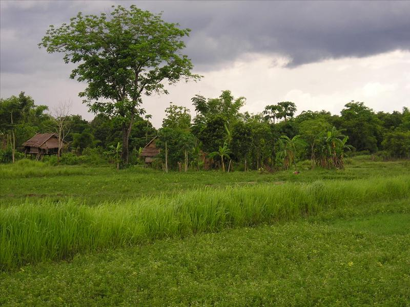 050 family rice fields.JPG