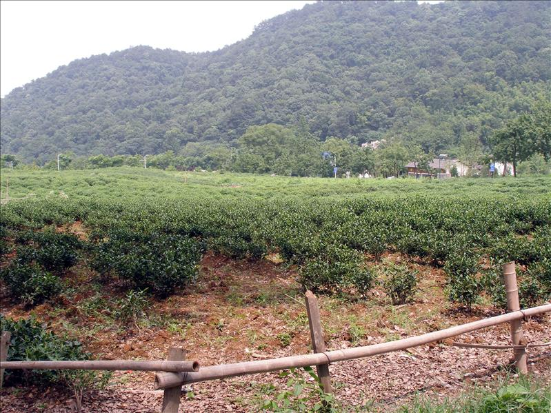 Now I know what a tea farm looks like.