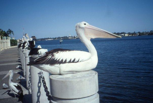PELICAN, BYRON BAY, NSW