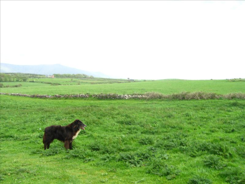 our walk through the cow patties...with our guard dog in tow...Irish dogs are like cats.. they come near you just to ignore you.