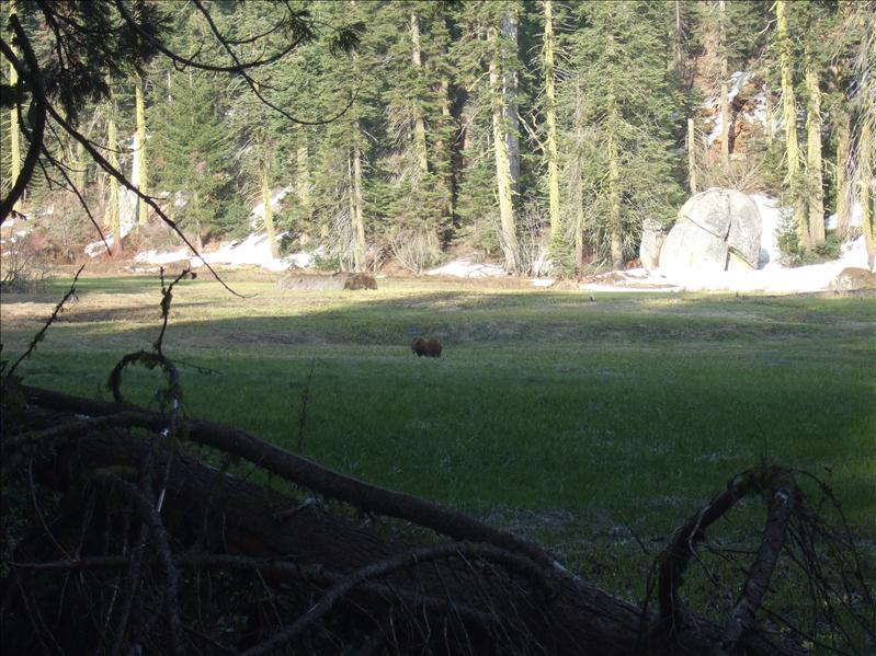 Grizzly Bear, Sequoia National Park