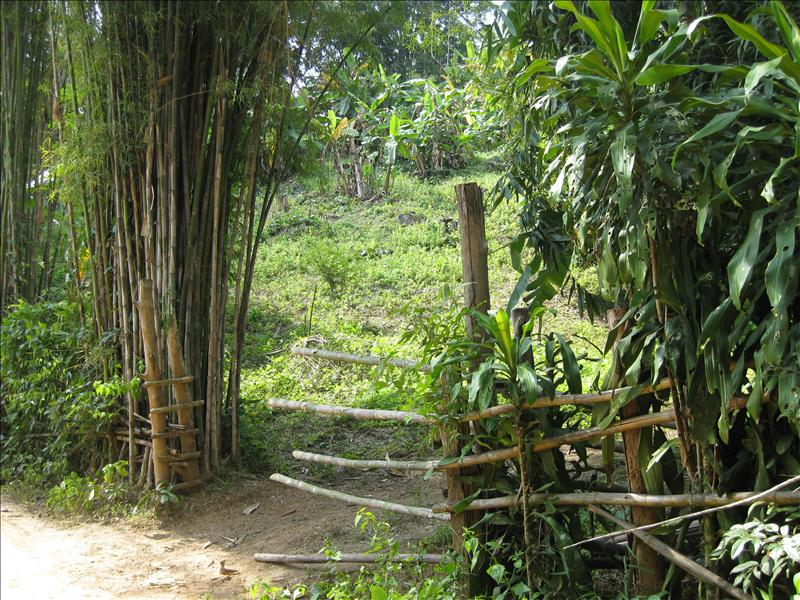 Teak and bamboo trees