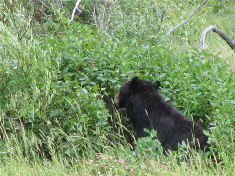 bleek er een beer in de bossen te zitten