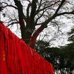 據說是唐玄宗與楊貴妃當年合種的樹