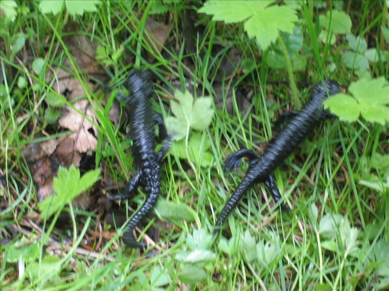salamandres•Moléyson•2008