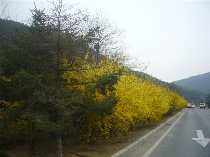 a yellow wall built by flowers,dalian