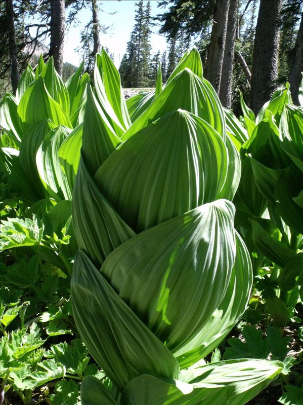 Some kind of plant, big