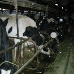 cow farm