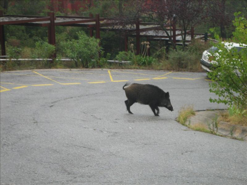 A random boar in Barcelona...what a bore!