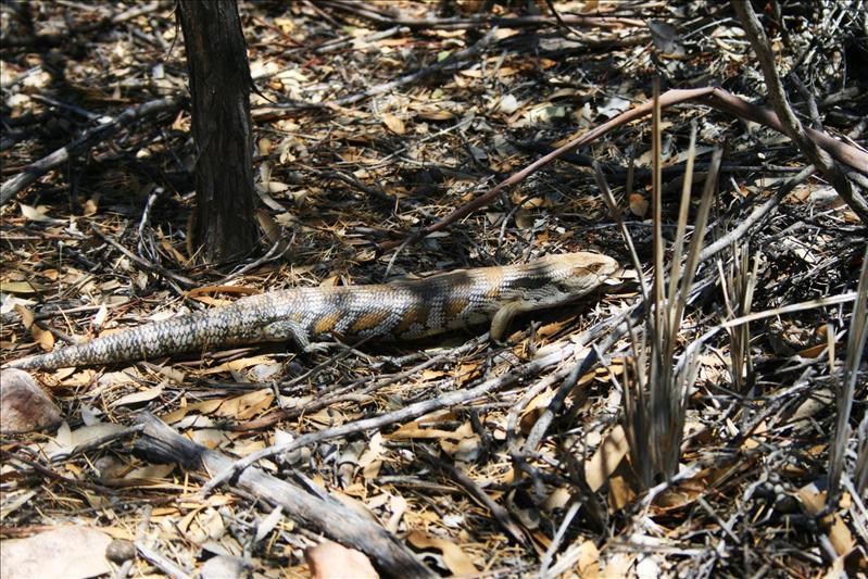 Big Lizard - Flinders Ranges National Park.