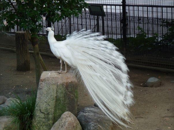 snow white peacock!