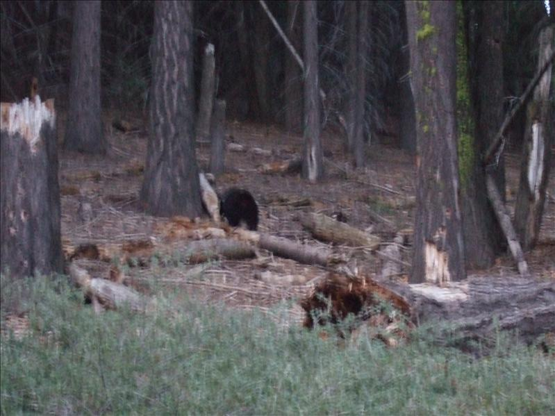 Black Bear, Sequoia National Park