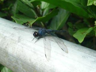 藍蜻蜓  .MOV