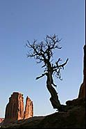 Courthouse Towers and old tree, Arches National Park, Moab, Utah