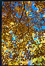 Backlit yellow leaves against a blue sky, Franconia Notch State Park, New Hampshire