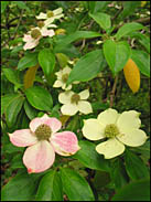 Dogwood, Strybing Arboretum, Golden Gate Park