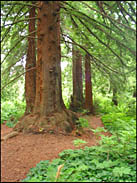 Redwood Trail, Strybing Arboretum, Golden Gate Park