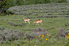 Pronghorns, Grand Teton National Park