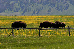 Bison, Grand Teton National Park