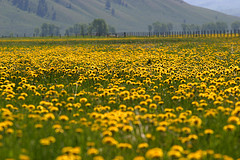 Field of Flowers, Grand Teton National Park