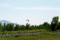 An Osprey takes flight in Grand Teton National Park
