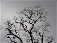Craggy branches against a cloudy sky, Hakone Gardens, Saratoga