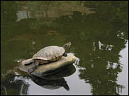 Turtle in the pool, Hakone Gardens, Saratoga