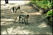 Monkeys, Tiger Point, Mumbai-Pune Highway, Maharashtra