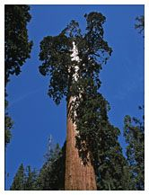 Tall Sequoia, Sequoia National Park