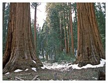 Sequoia trunks, Sequoia National Park