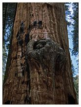 Close-up of Sequoia Tree Bark, Sequoia National Park