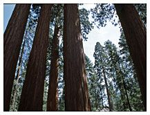 Sequoias reach for the skies, Sequoia National Park