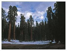 Giant Sequoia Grove, Kings Canyon National Park