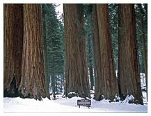 The Parker Group of trees, Sequoia National Park