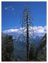 Leafless tree and Continental Divide: from Moro Rock, Sequoia National Park