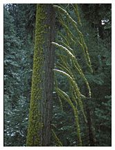 Moss on Tree, Kings Canyon and Sequoia National Park