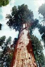 General Sherman Sequoia Tree, Kings Canyon and Sequoia National Park