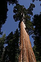 Giant Sequoia in Grant Grove, Kings Canyon National Park