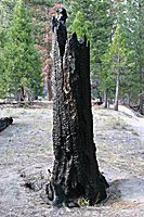 Burnt Tree Stump, Kings Canyon National Park