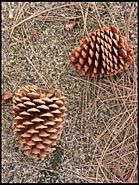 Pair of Pine Cones, Lake Tahoe