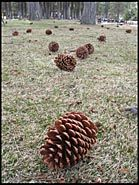 Pine Cones in Park, Lake Tahoe