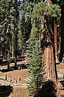Hikers dwarfed by Giant Sequoias, Sequoia National Park
