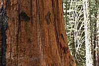 Giant Sequoia Trunk, Sequoia National Park